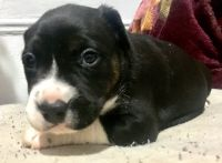 Staffordshire Bull Terrier Puppies for sale in Manhattan, New York, NY, USA. price: NA