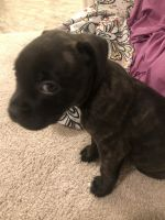 Staffordshire Bull Terrier Puppies for sale in Fort Worth, TX 76119, USA. price: NA