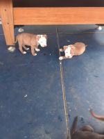 Staffordshire Bull Terrier Puppies for sale in Tampa, FL, USA. price: NA