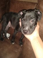 Staffordshire Bull Terrier Puppies for sale in Colorado Springs, CO 80916, USA. price: NA