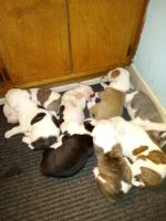 Staffordshire Bull Terrier Puppies for sale in Grovetown, GA 30813, USA. price: NA