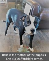 Staffordshire Bull Terrier Puppies for sale in Lubbock, TX, USA. price: NA