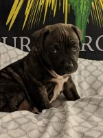 Staffordshire Bull Terrier Puppies for sale in Martinsburg, WV 25404, USA. price: NA