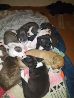 Staffordshire Bull Terrier Puppies for sale in Lincoln Park, MI 48146, USA. price: NA