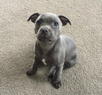 Staffordshire Bull Terrier Puppies for sale in California, PA, USA. price: NA