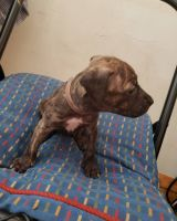 Staffordshire Bull Terrier Puppies for sale in Yonkers, NY, USA. price: NA