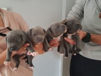 Staffordshire Bull Terrier Puppies for sale in Abiquiu, NM 87510, USA. price: NA