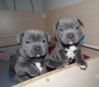 Staffordshire Bull Terrier Puppies for sale in 6501 Eagle Nest Dr, Garland, TX 75044, USA. price: NA