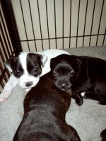 Staffordshire Bull Terrier Puppies for sale in Humble, TX 77339, USA. price: NA