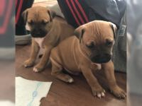 Staffordshire Bull Terrier Puppies for sale in Parsippany-Troy Hills, NJ, USA. price: NA