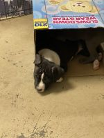 Staffordshire Bull Terrier Puppies for sale in Dothan, AL, USA. price: NA