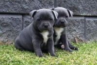 Staffordshire Bull Terrier Puppies for sale in Farmington, NM 87401, USA. price: NA
