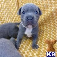 Staffordshire Bull Terrier Puppies for sale in Dallas, TX, USA. price: NA