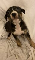 Staffordshire Bull Terrier Puppies for sale in Sun Prairie, WI 53590, USA. price: NA