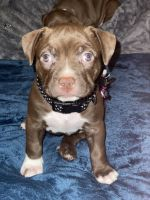Staffordshire Bull Terrier Puppies for sale in Denver, CO, USA. price: NA
