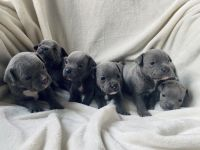 Staffordshire Bull Terrier Puppies for sale in 440 W 114th St, New York, NY 10025, USA. price: NA