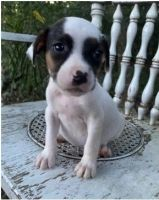 Staffordshire Bull Terrier Puppies for sale in Beverly Hills, CA 90210, USA. price: NA