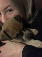 Staffordshire Bull Terrier Puppies Photos