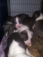 Staffordshire Bull Terrier Puppies for sale in Reno, NV, USA. price: NA