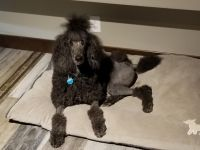 Standard Poodle Puppies for sale in St Augusta, MN, USA. price: NA
