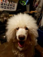 Standard Poodle Puppies for sale in St. Louis, MO, USA. price: NA