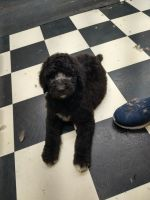 Standard Poodle Puppies for sale in Millington, MI 48746, USA. price: NA