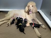Standard Poodle Puppies for sale in Cleveland, NC 27013, USA. price: NA