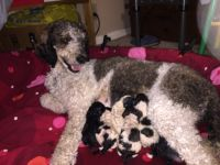 Standard Poodle Puppies for sale in Valley Center, CA, USA. price: NA