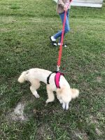 Standard Poodle Puppies for sale in Palm Bay, FL, USA. price: NA