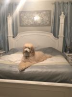 Standard Poodle Puppies for sale in Sharpsburg, GA, USA. price: NA