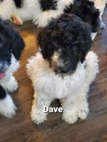 Standard Poodle Puppies for sale in Wauseon, OH 43567, USA. price: NA
