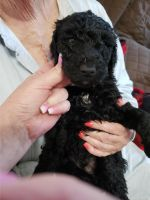 Standard Poodle Puppies for sale in Texarkana, TX, USA. price: NA