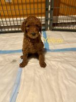 Standard Poodle Puppies for sale in Saylorsburg, PA 18353, USA. price: NA