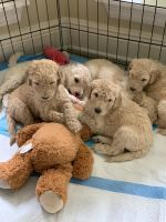 Standard Poodle Puppies for sale in Jackson, MS, USA. price: NA