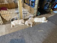 Standard Poodle Puppies for sale in Leoma, TN 38468, USA. price: NA
