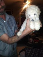 Standard Poodle Puppies for sale in San Antonio, TX, USA. price: NA