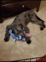 Standard Schnauzer Puppies for sale in Houston, TX, USA. price: NA