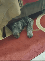 Standard Schnauzer Puppies Photos