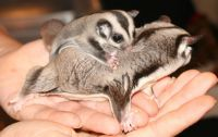 Sugar Glider Animals for sale in St Pete Beach, FL, USA. price: NA