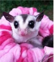 Sugar Glider Animals for sale in Madison, WI, USA. price: NA