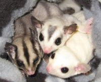 Sugar Glider Animals for sale in Naperville, IL, USA. price: NA