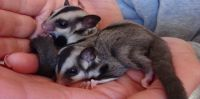 Sugar Glider Animals for sale in Mobile, AL, USA. price: NA