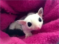Sugar Glider Animals for sale in Anton Chico, NM 87724, USA. price: NA