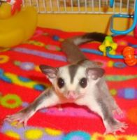 Sugar Glider Animals for sale in Arco, ID 83213, USA. price: NA