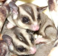 Sugar Glider Animals for sale in Paterson, NJ, USA. price: NA