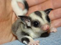 Sugar Glider Animals for sale in Sioux Falls, SD, USA. price: NA
