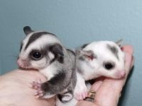 Sugar Glider Animals for sale in Bondurant, WY, USA. price: NA