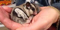 Sugar Glider Animals for sale in Washington, DC, USA. price: NA