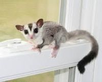 Sugar Glider Animals for sale in Anson, ME, USA. price: NA