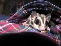 Sugar Glider Animals for sale in Overland Park, KS, USA. price: NA